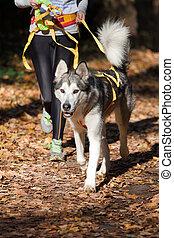 Sports with a dog. Canikross. Alaskan Malamute