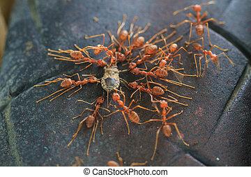spostare, morto, insetto, truppa, tentando, formiche