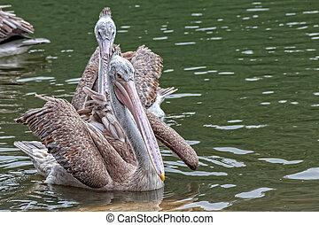 Spot-billed Pelican in the Lake