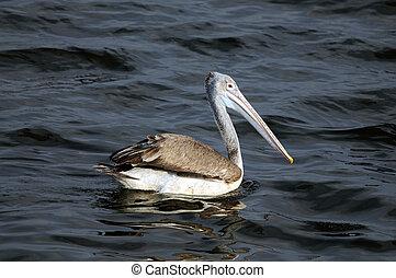 Spot Billed Pelican in his natural habitat