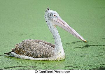 Spot-billed Pelican - Beautiful waterbird, Spot-billed...