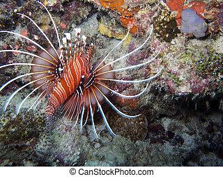 Spot fin Lionfish (Pterois antennata) - Lionfish are known...