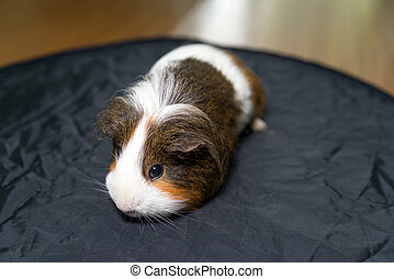 spotted a Guinea pig with spots of white and black color.