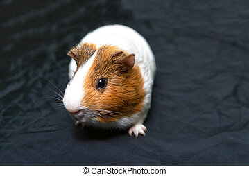 spotted a Guinea pig with spots of white and red colors.