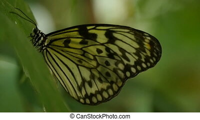 Spotted butterfly sits in profile on a green twig on a sunny...