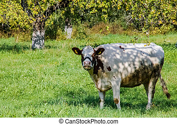 Spotted cow grazes in a green meadow