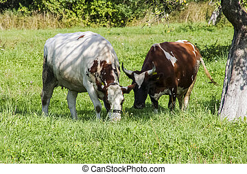 Spotted cows grazes in a green meadow