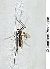 Spotted crane fly detail (Nephrotoma appendiculata)