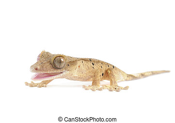 Spotted Crested Gecko isolated on white background.