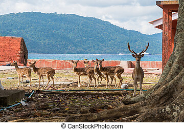 Spotted deer at Ross island, Andaman and Nicobar. Deer walking around the island on the background of the sea