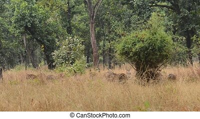 Spotted deer (Axis axis) National Park, India - Wild deer (...