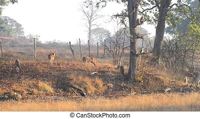 Spotted deer (Axis axis) National Park, India - Wild deer...