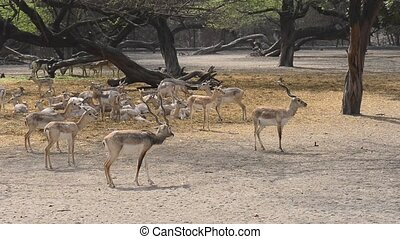 Spotted deer (Axis axis) New Delhi Zoo, India - Wild deer...