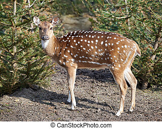 Spotted deer in its natural habitat looking at the camera