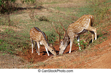 Spotted deer - Beautiful male and female spotted deer...