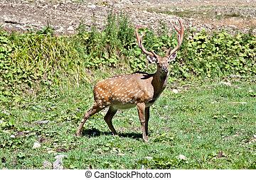 Spotted deer (Cervus nippon) buck standing in the grass