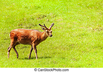 Spotted deer in the meadow