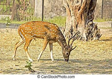 Spotted deer - Pasturing male spotted deer (Cervus nippon)