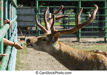 Spotted deer takes a leaf from human hands (Cervus nippon)