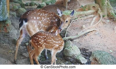 Spotted Deers in national park in Thailand. Slow motion. -...
