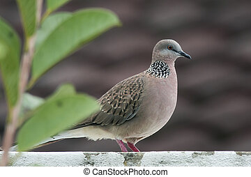 Spotted dove on a flat roof