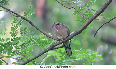 Spotted dove Spilopelia chinensis Beautiful Birds of...