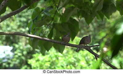 Spotted doves on the tree branch