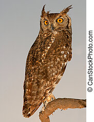 Spotted eagle-owl at dawn, South Africa