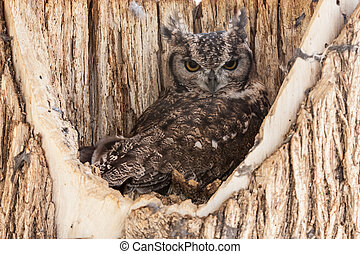 Spotted Eagle Owl - Complete name: Aves Strigiformes...