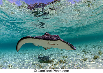 spotted eagle ray and stingray in ocean - spotted eagleray...