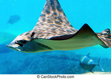 spotted eagle ray - a spotted eagle ray in tank