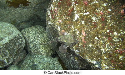 Spotted fish camouflaged on the rocks of the underwater...