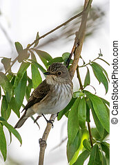 Spotted Flycatcher in a natural habitat. (Muscicapa striata)