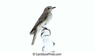 Spotted Flycatcher (Muscicapa striata) isolated on a white...