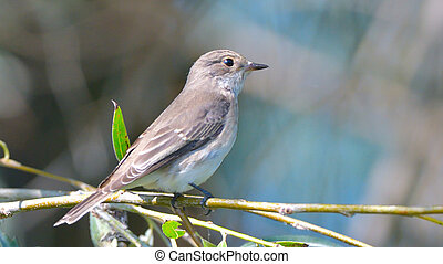 Spotted Flycatcher (Muscicapa striata) on a branch