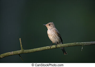 Spotted flycatcher, Muscicapa striata, single bird on branch, Hungary