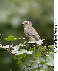 Spotted flycatcher, Muscicapa striata, Single bird on branch, Hungary, September 2018