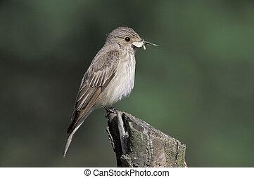 Spotted flycatcher, Muscicapa striata, single bird on branch, Poland