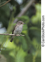 Spotted flycatcher, Muscicapa striata, single bird on branch, Poland