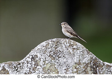 Spotted flycatcher, Muscicapa striata, Single bird on grave stone