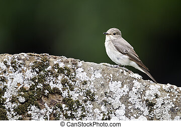Spotted flycatcher, Muscicapa striata, Single bird on grave stone