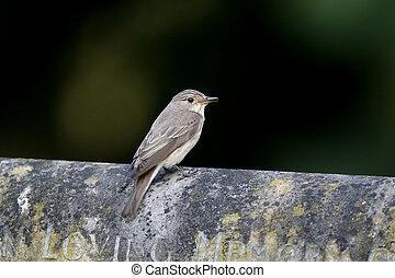 Spotted flycatcher, Muscicapa striata, single bird on gravestone, Warwickshire, July 2016