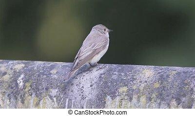 Spotted flycatcher, Muscicapa striata, single bird on...
