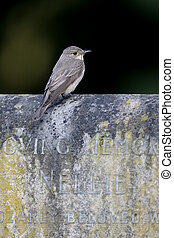Spotted flycatcher, Muscicapa striata, single bird on gravestone, Warwickshire, July 2016