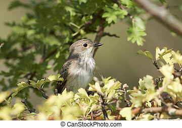 Spotted flycatcher in its natural habitat in Denmark