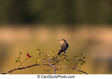 Spotted flycatcher on a twig