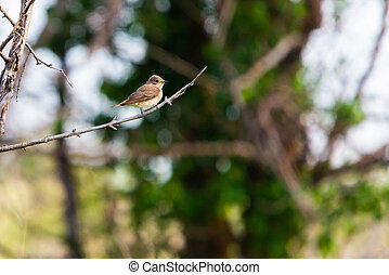 Spotted Flycatcher or Muscicapa striata sitting on the branch of a tree.