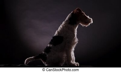 Spotted Fox Terrier sits on a gray black gradient background in the studio and looks in front of him, side view. The dog initially sits without moving, but then begins to wag its tail. Close up