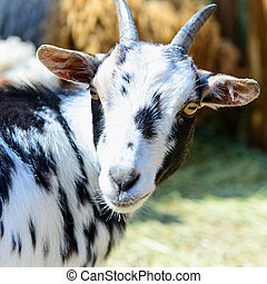 spotted goat farm animal