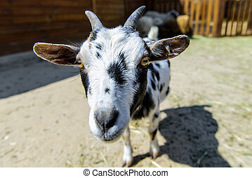 spotted goat farm animal - spotted goat looking at the...